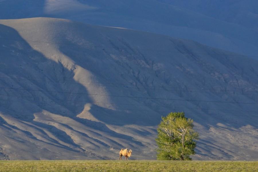 Верблюды-1